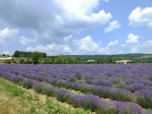 Lavendar fields of Provence, France